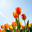 Tulips from a low point of view — Stock Photo