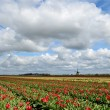 Tulips and a windmill in Holland — Stock Photo