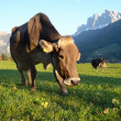 Dolomites mountain cow — Stock Photo