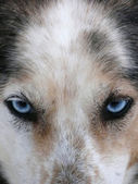 Husky dog blue eyes — Stock Photo
