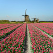 Tulips and windmills in Holland — Stock Photo
