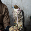 Falconer with falconry falcon — Stock Photo #42216799