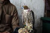Falconer with falconry falcon — Stock Photo