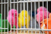 Chicks painted in bright colors — Stock Photo