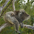 Aussie Koala — Stock Photo #21016669