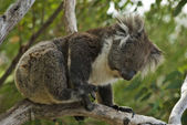 Aussie Koala — Foto Stock