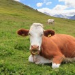 Alpine pasture with cow — Stock Photo