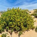 Sardinia - flowered dune — Stock Photo