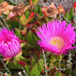 Carpobrotus acinaciformis — Stock Photo