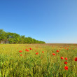 Royalty-Free Stock Photo: Field with poppies