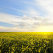 Canola field — Stock Photo #31176407