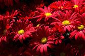 хризантемы — Стоковое фото