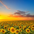 Sunflowers — Stock Photo #32761089