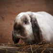 Portrait of rabbit — Foto de stock #38937751