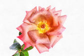 Rose Drawing, Realism. — Stock Photo