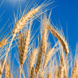 Golden wheat — Stock Photo #17393359