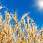Golden wheat field — Stock Photo #17393361