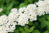 White Spirea in a garden — Stock Photo