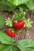 Ripe strawberries in a garden — Stock Photo