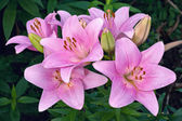 Pink lilies in a garden — Stock Photo