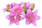 Pink lilies on white background — Stock Photo