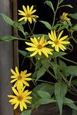 Yellow chamomile — Stock Photo