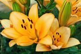 Yellow lilies in a garden — Stock Photo