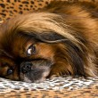 Pekinese dog — Stock Photo #13908845