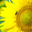 Big bee on the sunflower — Stock Photo