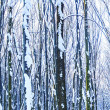 Forest trees nature snow wood backgrounds — Stock Photo