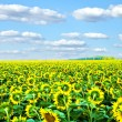 Sunflowers at the field in summer — Stock Photo