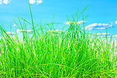 Green grass isolation — Stock Photo