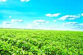 Champ vert sous le ciel bleu. fond de beauté nature — Photo