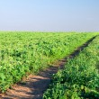 Path in green field — Stock Photo #42148139
