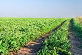 ścieżka w zielone pole — Zdjęcie stockowe