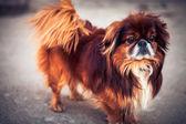 Pekinese dog — Stock Photo