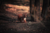 Red Squirrel — Stock fotografie