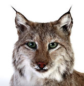 A stuffed lynx — Stock Photo