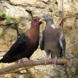 Purebreds doves — Stock Photo