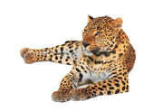 Leopardo — Foto de Stock