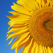Sunflower — Stock Photo #31420621