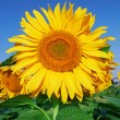 Sunflowers — Stock Photo #31421371