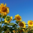Sunflowers — Stock Photo #31423353