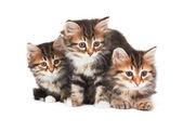 Three Little Kittens — Stock Photo