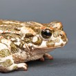 Bufo viridis. Green toad on gray background. Studio shot. — Foto de Stock