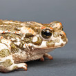 Bufo viridis. Green toad on gray background. Studio shot. — Photo