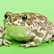 Bufo viridis. Green toad on green background. Studio macro shot. — Stok fotoğraf