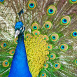 Stock Photo: Beautiful peacock showing feathers