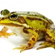 Rana esculenta. Green (European or water) frog on white backgrou — Stock Photo #13490516