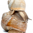 Snail isolated on white background — Stock Photo